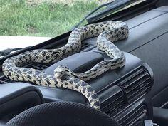 Types Of Snake, Rat Snake, Largest Snake, Desert Climate, Snake Venom, Snakes, Mammals, Colorado, Wildlife