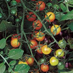 Tomato, Currant Gold Rush Organic | Seed Savers Exchange