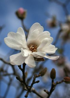 Magnolia--had a big magnolia in the front yard growing up. I loved the pink blossoms that turned into these beautiful flowers. It was the best tree to climb, too.