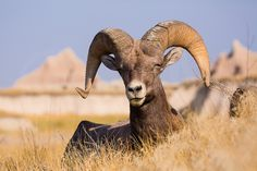 A tired bighorn sheep ram (Ovis Canadensis) in the South Dakota Badlands. (1200x800) Jerry Mercier