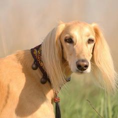 Salukis are a graceful strong and smart dog famed for its hunting prowess and ties to the Bedouin culture. . If you haven't seen a Saluki run... it's remarkable! They are capable of speeds up to 60-70kph. . #salukis #salukiuae #beautiful #dubaidogs #hunters #stunning #rawnutrition