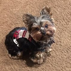 Fancy Denim Corset Harness for Dogs Cats and Pets Sailor Jerry, Pet Dogs, Dog Cat, Pets, Yorkshire Terrier Puppies, Terrier Dogs, Yorkie Puppy, Fancy, Dog Harness