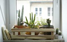 Manchmal treiben Zimmerpflanzen Ableger – kleine Pflanzen, die plötzlich aus der Erde kommen. Igor, Mitbegründer von Urban Jungle Bloggers, zeigt uns hier, wie einfach sich diese 'Babys' seiner Pilea umtopfen lassen.