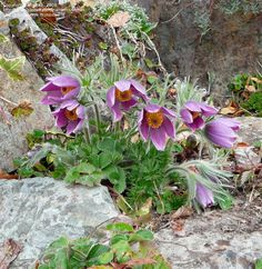 Pulsatilla vulgaris (Pasque Flower)  //blooms very early spring. Decorative seedheads. Image here has strawberry leaves mixed in.