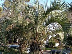 Pindo Palm (Butia capitata)