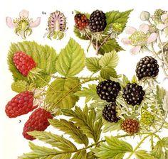 Brambles of black caps and loganberries