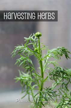 How To Harvest Your Herbs [Herb Garden Series] || Practically Functional