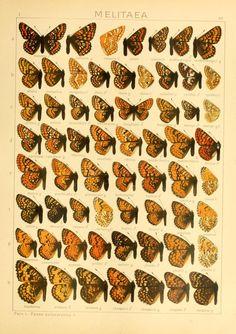 Melitaea. The Macrolepidoptera of the world v. 1 (plates)  Stuttgart :Seitz'schen (Kernen),1906-  Biodiversitylibrary. Biodivlibrary. BHL. Biodiversity Heritage Library