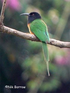 The Black-headed Bee-eater (Merops breweri) is a species of bird in the Meropidae family. It is found in Angola, Central African Republic, Republic of the Congo, Democratic Republic of the Congo, Ivory Coast, Gabon, Ghana, Nigeria, and South Sudan.