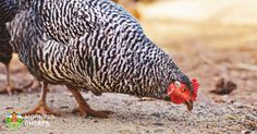 You need a chicken wormer to ensure happy healthy chickens. We explain what to look for, how to deworm chickens, and how to best prevent worms in chickens. Best Egg Laying Chickens, Types Of Chickens, Keeping Chickens, Raising Chickens, Raising Mealworms, Laying Hens, Egg Bound Chicken, Chicken Feed, Chicken Scratch
