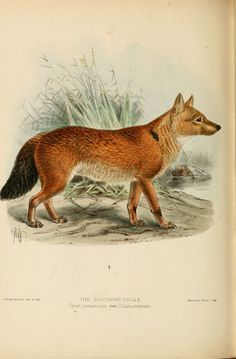 https://flic.kr/p/a88hgK | n315_w1150 | Dogs, jackals, wolves, and foxes London R.H. Porter 1890 biodiversitylibrary.org/page/17003226