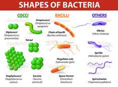 Afbeeldingsresultaat voor bacterial cell shapes and arrangements