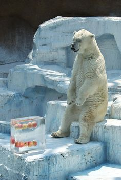 Polar bear getting ready to eat.
