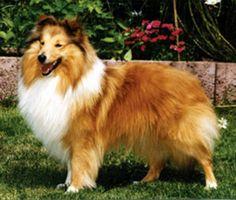 welsh sheepdog photo | Auf den vor Schottland liegenden Shetland- Inseln sind Tiere von ... Welsh Sheepdog, Shetland Sheepdog, Sheltie, Corgi, Animals, Animales, Islands, Scotland, Corgis
