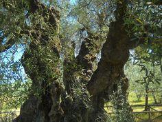 Monumentale ulivo dalle parti di Trevi: il più annoso - pare - del centro Italia. Provincia di Perugia.