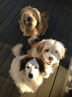 . Tibetan Terrier, Terriers, Puppies, Pets, Animals, Pet Dogs, Cubs, Animales, Animaux