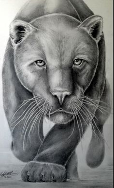 my panther drawing pencil graphite