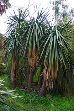 Yucca schottii (Schott's Yucca) - Probably the tallest yucca for southern New England gardens, growing up to 10' feet tall with a multi-branched top.  Several varieties with yellow or blueish leaves are available.