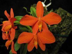 Orquídea Sophronits Pigmeia