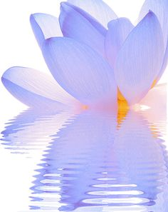 Lotus Flower Reflections - ©Bahman Farzad / lotusflowerimages.com ( flickr)