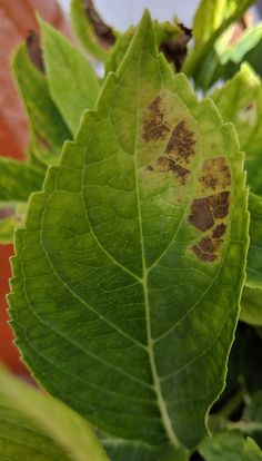 Common Problems With Hydrangea Leaves Hydrangea Tree, Hydrangea Not Blooming, Hydrangea Garden, Hydrangea Shrub, Roses Garden, Hydrangea Diseases, Trees To Plant, Plant Leaves, Gardens