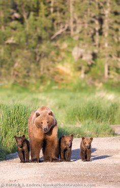 Female brown bear (sometimes called a sow) and triplet cubs of the year, Katmai National Park, southwest, Alaska.