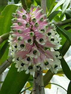 Bottlebrush Orchid (Dendrobium smillieae) From far northern Queensland to Papua & New Guinea.