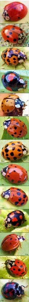 Asiatische Marienkäfer breiten sich aus.