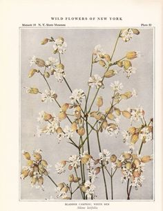 1921 Bladder Campion White Ben Vintage Flower Print In. Vintage Flower Prints, Vintage Flowers, Botanical Illustration, Illustration Art, Illustrations, Plant Aesthetic, Flower Frame, Botanical Prints, Creative Inspiration