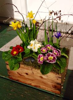 Spring flowers in antique orange crate with primulas, mini daffodils and dwarf iris.