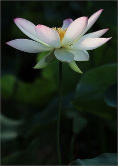 103 Best Lotus Love Images Lotus Flower Water Plants Beautiful