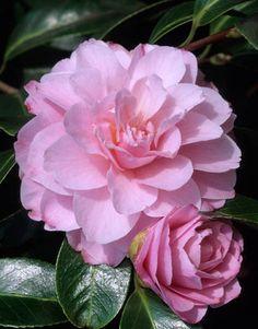 Camellia x williamsii 'Corinne Dawn' (Australia, 1967)