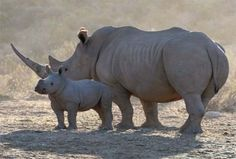 Read more on the latest news, facts and figures on Rhino Poaching and Rhino conservation both globally and in South Africa and Kruger National Park African Animals, African Safari, Kruger National Park, National Parks, Game Reserve South Africa, South Africa Wildlife, Rhino Poaching, Save The Rhino, Baby Rhino