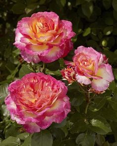 'Gorgeous' rose from Poulsen Roses