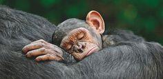 Vertrauensvoll an den Rücken der Mutter geklammert, verbringen Schimpansen die ersten Jahre ihres Lebens reitend – auch im Schlaf. Die überwiegend im Regenwald des Kongo beheimateten Menschenaffen sind extrem gefährdet: durch Wilddiebe und Vernichtung ihres Lebensraums – Diese Karte hier online kaufen: http://bkurl.de/pkshop-211347 Art.-Nr.: 211347 Reiten auch im Schlaf | Foto: © Javier Ortega Ojuel | Text: Rolf Bökemeier