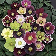 3 Containers of Mixed Lenten Rose Hellebore in 4 Inch Pots Great for Fall Planting >>> Click image for more details. Winter Plants, Winter Garden, Winter Flowers, Home Garden Plants, Shade Garden, Lenten Rose, Rainbow Roses, Christmas Rose, Spring Blooms