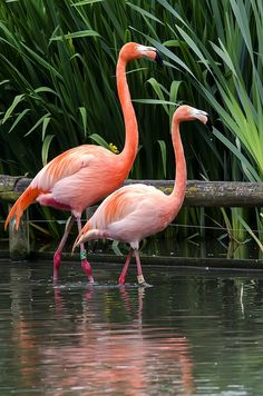 Flamingos Found this cute flamingo photo while browsing :) Flamingo Painting, Flamingo Art, Pink Flamingos, Flamingo Pictures, Bird Pictures, Animal Pictures, Flamingo Wallpaper, Animal Wallpaper, Beautiful Birds