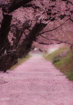 Japanese Cherry Trees, Sakura | photo by Kanji Furukawa