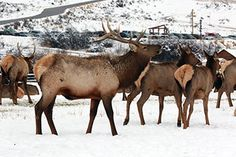 Go see the wild elk at Hardware Ranch! There are more than 500 in the meadow now.