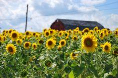 Michigan Sunflower Field