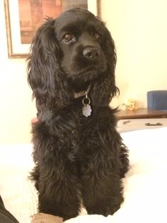 """Excellent """"cocker spaniel"""" info is offered on our site. Chocolate Cocker Spaniel, Black Cocker Spaniel, American Cocker Spaniel, Cocker Spaniel Puppies, Spaniel Breeds, Dog Breeds, Cute Puppies, Dogs And Puppies, Cockerspaniel"""