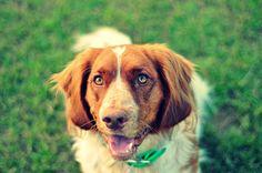 Deutscher Wachtelhund: Piper Vom Last Chance