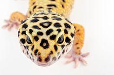 """Leopard by Mark Johnson on 500pxL En Europa, las más conocidas son las salamanquesas que penetran frecuentemente en las casas y están rodeadas de cierto folclore; el nombre popular """"salamanquesas"""" se generaliza con frecuencia a toda la familia animal. Gecos"""