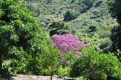 Colombia - Roble en flor, La Guajira.