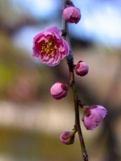 可憐な梅のつぼみ|おじゃかんばん『フォトブラ☆散歩物語』