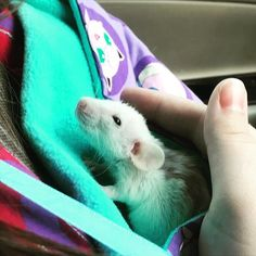 Brought my new girl Keely home yesterday! #aww #cute #rat #cuterats #ratsofpinterest #cuddle #fluffy #animals #pets #bestfriend #ittssofluffy #boopthesnoot