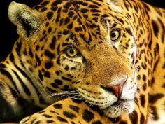 faune tropicale | animais ameaçados de extinção no brasil Animais Ameaçados de ...