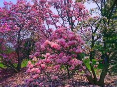 The Lilac Festival in Rochester, New York