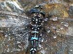 Dragonfly, Blue, Black, Brown, Macro ❧