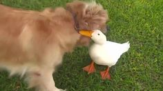 Friendship dog and duck - Golden Retriever - Dogs Channel